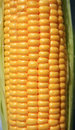 Ear of ripe corn Stock Photography