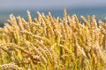 Ear of rye field on a sunny summer day Stock Images