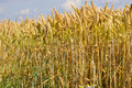 Ear of rye field on a sunny summer day Royalty Free Stock Images
