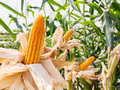 Ear of sweet corn in corn field Royalty Free Stock Photo