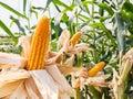 Ear of sweet corn in corn field Royalty Free Stock Photo