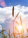 Ear  wheat Royalty Free Stock Photo