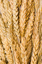 Ear of wheat Stock Images