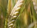 Ear of wheat macro Royalty Free Stock Photo