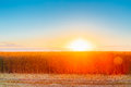 Eared Field Of Golden Wheat Under Bright Sunlights Of Summer Sunset Royalty Free Stock Photo