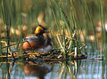 Eared Grebe on Nest Stock Images