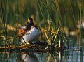 Eared Grebe on Nest Stock Photos
