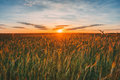 Eared Wheat Field, Summer Cloudy Sky In Sunset Dawn Sunrise. Sky Royalty Free Stock Photo