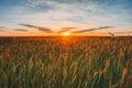 Eared Wheat Field, Summer Clou...