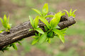 Earliest green spring leaves old branches Royalty Free Stock Photography