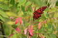 Early autumn sumac leaves and ripened fruit closeup on changing color a cluster Stock Photos