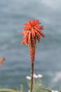 Early Bloom of Red Aloe Flower Royalty Free Stock Photo