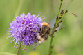 Picture : Early Bumblebee or early-nesting bumblebee, Bombus pratorum, male sitting on devils bit scabious, Succisa pratensis frame bombus