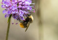 Photo : Early Bumblebee or early-nesting bumblebee, Bombus pratorum, male sitting on devils bit scabious, Succisa pratensis picture  view