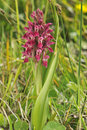 Early Marsh Orchid Stock Photos