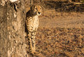 Early Morning Cheetah Royalty Free Stock Photo
