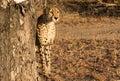 Early Morning Cheetah Royalty Free Stock Photo