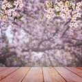 Early morning in the cherry orchard. Blooming cherry. Cherry blossoms. Royalty Free Stock Photo
