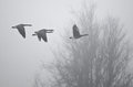 Early morning flight of canada geese flying above foggy marsh very Royalty Free Stock Images