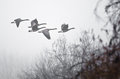 Early morning flight of canada geese flying above foggy marsh very Royalty Free Stock Photo