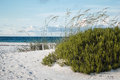 Early morning florida beach and dunes large rosemary shrub sea oats on white sand dune Stock Photography