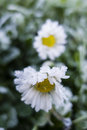 Early Morning Frost On Grass And Daisy