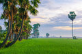 Early morning on the rice field Royalty Free Stock Photo