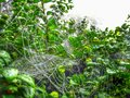Early morning spider webb spiders with dew Stock Photo