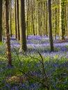 Early morning sun beams shining through the beech woodland illuminating the vibrant purple bluebell carpet, Hallerbos, Belgium Royalty Free Stock Photo