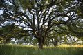 Early morning sunlight highlights a majestic blue oak tree in the woodlands of Mount Wanda Royalty Free Stock Photo