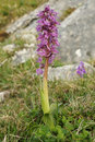 Early Purple Orchid Stock Photography