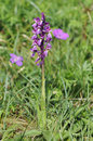 Early Purple Orchid Royalty Free Stock Photography