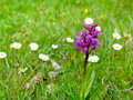 Early purple orchid meadow with placed under protection and common daisy Royalty Free Stock Photo
