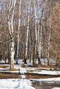 Early sping woods landscape in birch forest Stock Images