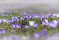 Early spring crocus purple and white. selective focus and soft b Royalty Free Stock Photo