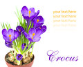 Early spring flower crocus for easter purple on white background Stock Image