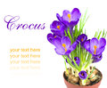 Early spring flower crocus for easter purple on white background Stock Photos