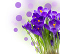 Early spring flower crocus isolated purple for easter Royalty Free Stock Image