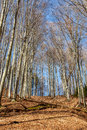 Early spring forest beech with leaves on the ground Royalty Free Stock Photography