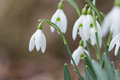 Early Spring snow drop flowers bloom Royalty Free Stock Photo