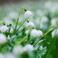 Early spring snowflake flowers in bloom Royalty Free Stock Photo