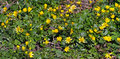 Early spring yellow flowers look shiny, as if varnished. Butterc Royalty Free Stock Photo