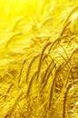 Ears of barley Royalty Free Stock Photo