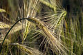 Ears of barley with long awns in a field Royalty Free Stock Photo