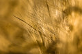 Ears of corn barley in detail with blurred background Stock Image
