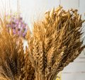 Ears of different types of cereals: wheat, oats, rye. selective Royalty Free Stock Photo
