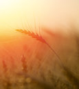 Ears of golden wheat close up. Royalty Free Stock Photo