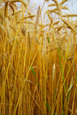 Triticale, a hybrid of wheat and rye. Royalty Free Stock Photo