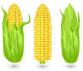 Ears of ripe corn Royalty Free Stock Photos