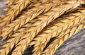 Ears of ripe wheat close up Royalty Free Stock Photo